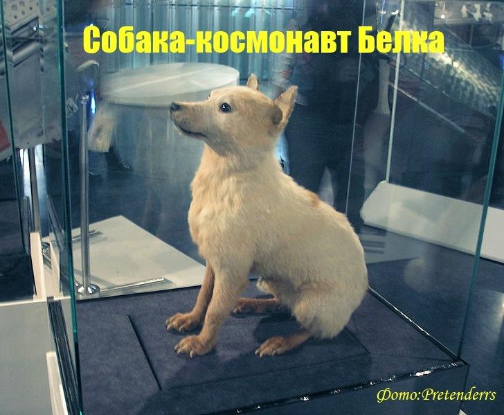 Белка собака космонавт