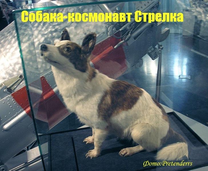 Стрелка собака космонавт